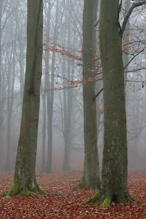 Drei Buchen im Nebel
