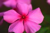 Beauty (Rajavelu1) Tags: flowers beauty beautyofnature colours plant green art artland creative canonef100mmf28macroisusmlens canon60d simplysuperb