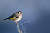 chardonneret élégant (photopierrot44) Tags: chardonneret élégant oiseaux sauvage oiseau extérieur nikon nature passereaux animal