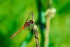 Resting dragon 2 (Rico the noob) Tags: dof bokeh nature d500 switzerland outdoor 2016 animal tc14eiii zurich macro schweiz 300mmf4pf published insect animals dragonfly 300mm closeup neeracherried