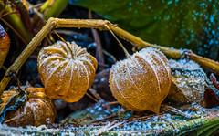 Physalis (katrinchen59) Tags: physalis frozenphysalis winter season coldoutside nature botanical macro macrophotography stadtparknordhorn