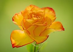Sunny Rose (Roland B43) Tags: rose orange vivitar90mm28macro excellentsflowers
