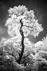 perception (scott morgan images) Tags: autumncolours final foliage idc ir infrared isabellaplantation leaves london richmondpark sunshine trees uk