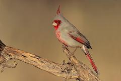 Pyrrhuloxia (Greg Lavaty Photography) Tags: pyrrhuloxia cardinalissinuatus arizona january bird nature wildlife outdoors birdphotography