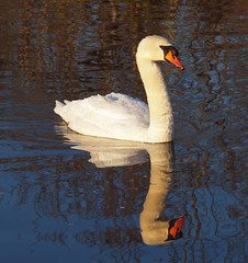 2016_12_0567 (petermit2) Tags: muteswan swan clumberpark clumber sherwoodforest sherwood nottinghamshire nationaltrust nt