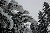 Cedar hedge caked with snow (nikname) Tags: snow snowydays snowybranches snowytrees trees winter wintertrees citystreets