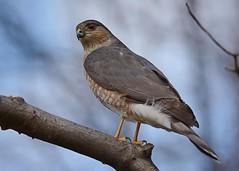 Sharp-shinned Hawk (JDA-Wildlife) Tags: birds nikon nikond7100 tamronsp150600mmf563divc jdawildlife johnny portrait closeup birdsofprey raptors hawks hawksharpshinned sharpshinnedhawk