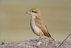 Bruine Klauwier ♀ (pietplaat) Tags: pietplaat vogels timorpark denhelder bruineklauwier