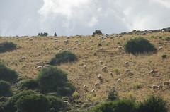 East Crete Sheep Detail (Vjekoslav1) Tags: greece grčka europe europa ovce sheep crete kreta