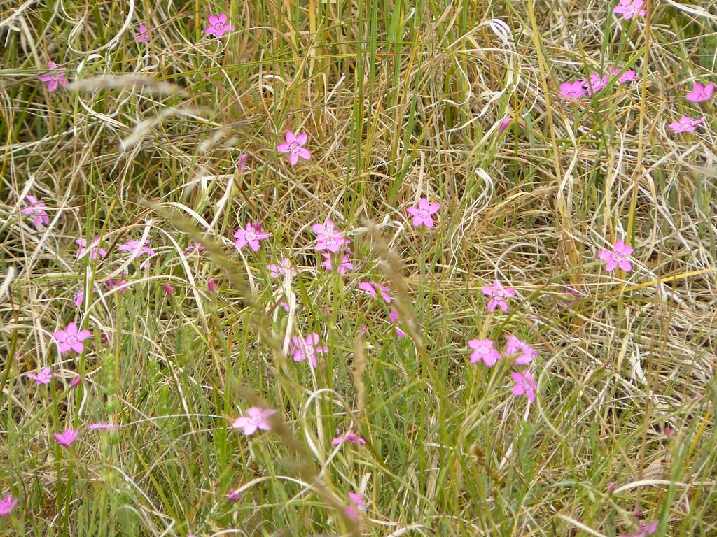 Dianthus deltoides- Heidenelke3
