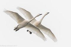 Pas de deux (rdroniuk) Tags: birds waterfowl waterbirds swans whistlingswan tundraswan tundraswanmigration oiseaux oiseauxdeau cygne cygnuscolumbianus cygnedebewick