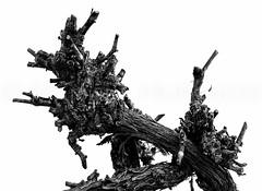 Grapevine (ManuelHurtado) Tags: countries places blackandwhite closeup crooked dead dry grapevine log nature old plant texture tree trunk twisting vine vineyard wood granada andalucía españa es