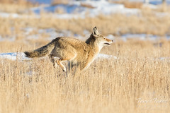 After spotting the photographer, the Coyote retreats quickly