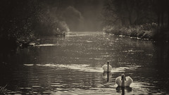 Serenity (Nick.Richards) Tags: serenity calm swans river water nikon nikon1685 nickrichards nikond7100 nikefex d7100 sepia silverefex nature outdoors britishcountryside