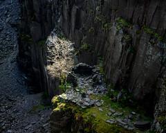 The Shining Tree (Tim Allott) Tags: pentaxk3 gregwhittonphotographyworkshop northwales ruins landscapephotography light rocks cliff ledges tree slate quarry dinorwic snowdonia
