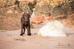 _DSC5447_Dog_Portrait (Wildwatcher_Eve) Tags: chocolatelabrador labrador labradorpuppy puppy gundog workingdog dog pet dogphotography nikon