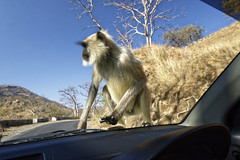 _DSC2471_DxO (Alexandre Dolique) Tags: d810 inde udaipur rajasthan singe monkey attaque attack india