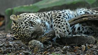 junger persischer Leopard