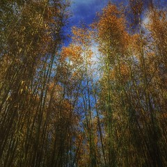 Bamboo forest (yosmama151) Tags: sky bamboo bambooforest squareformat 11 crop snapseed snapseedapp mextures mexturesapp m3xtures texture textured forest saturated dark iphone iphone6s iphoneographer iphoneography mobilephotography mobilephotographer cellphoneshot