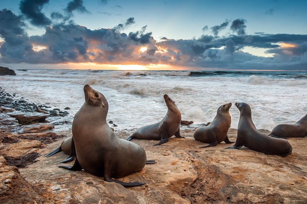 These famous sea lions hang out here at La Jolla beach near San Diego.