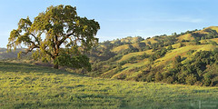 Old Oak at Sundown (James L. Snyder) Tags: quercus oak deciduous tree trees branches grass foothills ridge hills hill slope valley pasture grassland ranch countypark park graceful native rolling smooth vernal lush luxuriant verdant one lone solitary old rural country pastoral bucolic silhouette statuesque green sunlight sidelighting mellow soft delicate bluesky cirrus clouds sunny clear tranquil peaceful idyllic majestic stately venerable washburntrail josephgrantcountypark hallsvalley ranchocañadadepala bayarea sanjose santaclaracounty povertyridge diablorange california usa horizontal panorama treesonhills sunset sundown march spring 2015