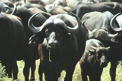 Kaapse buffels (Rob van t Padje) Tags: flickr zoogdieren phalaborwa zuidafrika zaf