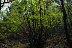 New Leaves by ioanna papanikolaou CSC_1384 (joanna papanikolaou) Tags: forest trees leaves nature environment foliage spring green greece travel prespes scape landscape outdoors nobody branches