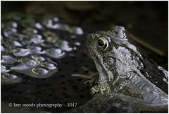 2017_365-70 - A Watching Brief? (Kenny Boy1) Tags: frog frogspawn spawn pond amphibian 365 march 2017 sussex westsussex