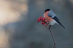 NIEBLA (Carlos Cifuentes) Tags: camachuelo paporrubioreal pyrrhulapyrrhula commonbullfinch bird carloscifuentes wildlife nature