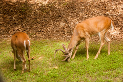 Lawn Care crew (3) (tommaync) Tags: male nature grass animals female nc nikon stag wildlife lawn northcarolina august doe deer antlers buck chathamcounty 2015 d40