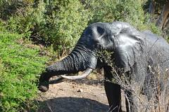 DSC_2551 (Arno Meintjes Wildlife) Tags: africa travel elephant nature southafrica wildlife ivory safari africanelephant loxodontaafricana africanbushelephant arnomeintjes