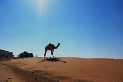 Al Ain (mhbous) Tags: winter photography sand friend dubai fuji desert farm dune uae bbq camel fujifilm alain ain      xe1