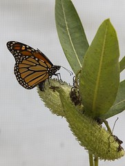 Monarch Laying Eggs (a56jewell) Tags: summer orange ontario green monarch aug milkweed silverhill butterflyu a56jewell