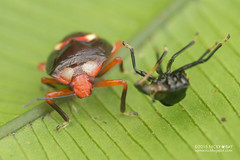 Shield-backed bug (Scutelleridae) - DSC_3442 (nickybay) Tags: macro peru bug amazon tambopata scutelleridae peruvianamazon shieldbacked tambopataresearchcenter