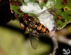 Episyrphus balteatus Marmalade Hoverfly (Moby Shark) Tags: flower garden nectar pollen hoverfly diptera episyrphusbalteatus marmaladehoverfly