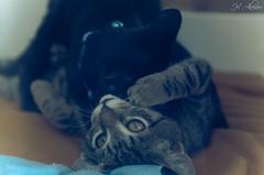 Black & Tiger (Beto Alcocer) Tags: cats playing black animal cat tiger gatos gatitos