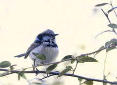 Male Fairy Wren (aussiegall) Tags: male bird garden spring wildlife australian feathers fairywren