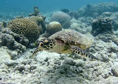 Hawksbill Turtle - Eretmochelys imbricata (Gary Faulkner's wildlife photography) Tags: maldives hawksbillturtle fonimagoodhoo reethibeach baaatoll