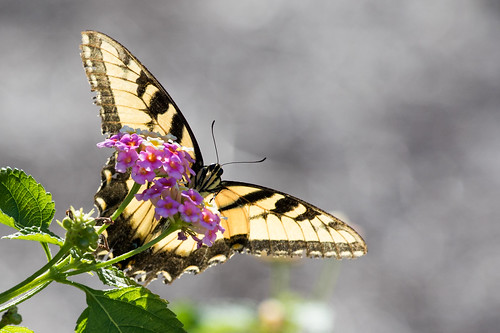 Tiger Swallowtail - Papilio glaucus