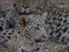 Okonjima, Namibia (Marc_P98) Tags: