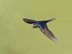 Welcome Swallow (Vas Smilevski) Tags: bird birds wildlife birding feathers australia nsw birdsinflight swallow swallows penrith australianbirds welcomeswallow hirundoneoxena mc14 olympusomdem1 mzuiko40150mmf28pro