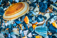 Clam shell with other shells in Folly Beach South Carolina (CarmenSisson) Tags: life usa shells detail macro beach closeup seashells marine pattern close shoreline southcarolina shell clam shore follybeach bivalve