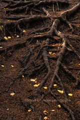 Forest Floor Detail, Roots & Leaves (chasingthelight10) Tags: travel autumn trees lake canada fall nature forest photography landscapes countryside events lakes places things autumnleaves vistas forests banffnationalpark barrierlake canadianrockies