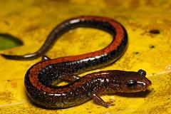 southern red-backed salamander (Plethodon serratus) (Michael Cravens) Tags: red back salamander southern missouri ozarks redback plethodon redbacked serratus