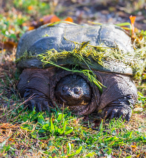 The Common Snapping Turtle - Takanassee Lake - 1