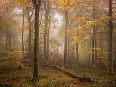 The End of Something (Damian_Ward) Tags: wood morning autumn trees mist fall misty fog forest woodland photography chilterns buckinghamshire foggy bucks autumnal beech wendover astonhill thechilterns chilternhills wendoverwoods damianward ©damianward