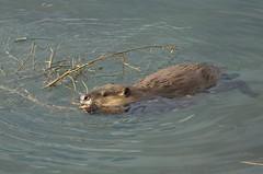 North American Beaver (Castor canadensis) DDZ_2509 (NDomer73) Tags: 18october2015 october 2015 tetons mammal northamericanbeaver beaver grandtetonnationalpark grandteton