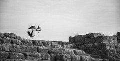 Caesarea/קיסריה (Cindy en Israel) Tags: israel aves gaviota caesarea cuervo