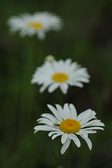 KIM_8129 (Kimberly Baird-Stephenson Photography) Tags: summer favorite white floral yellow three weed daisy trio