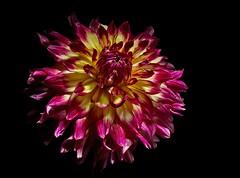 Dahlia (leonardo.dave@rocketmail.com) Tags: dahlia flower nature